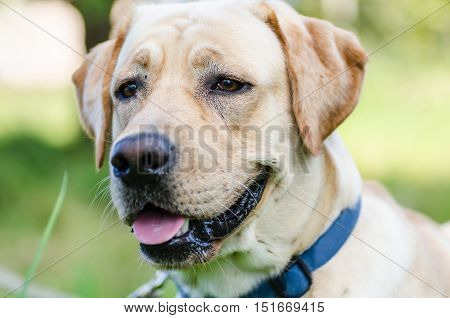 closeup muzzle cute young purebred labrador with beautiful intelligent eyes and big white teeth into a nice sunny day outdoors