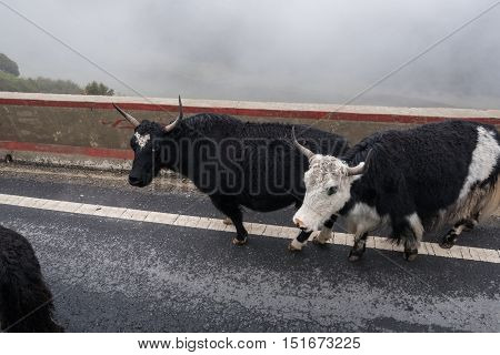 Group of yak walking on country road