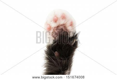 kitty paw animal isolated on white background