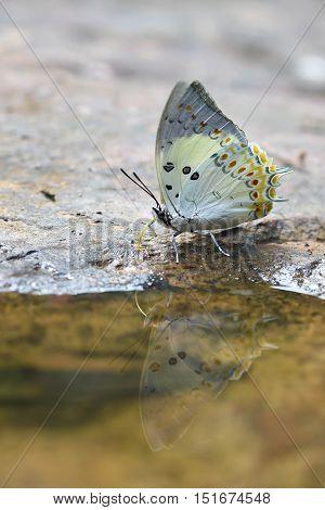 Jewelled Nawab Butterfly