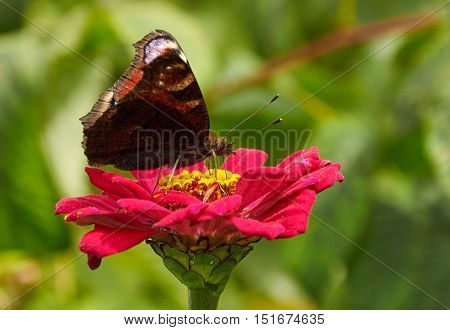 Butterfly On The Flower On Zinnia