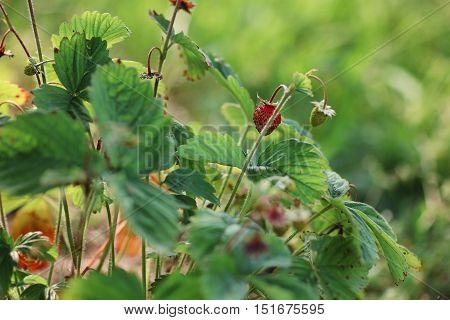 fresh strawberries on the green small bush