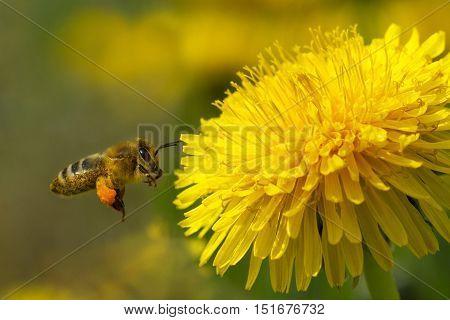 Bee On A Yellow Dandelion 8