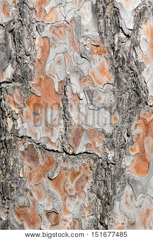 Tree bark texture. Brown texture of the old pine tree.Tree bark natural background