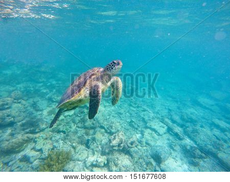 Sea turtle in blue water. Green sea turtle diving in coral reef. Sea tortoise. Green turtle swims in sea. Snorkeling with turtle in lagoon. Underwater image for banner template or poster with text place