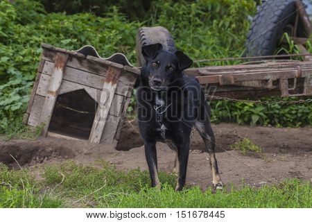 Dog On A Chain Out Of His Kennel