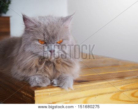 Persian grey cat with orange eyes looking at something on wooden table