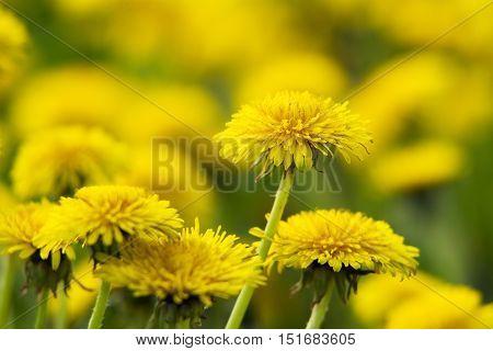 Yellow Dandelions On Green Meadow 9