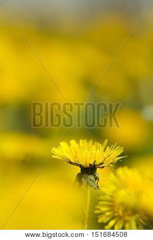Yellow Dandelions On Green Meadow 7