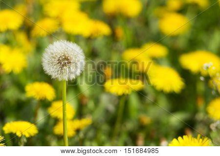 Yellow Dandelions On Green Meadow 2