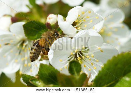Bees On Flowers Apple 4