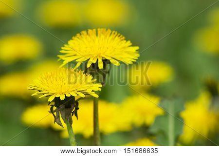 Yellow Dandelions On Green Meadow 1