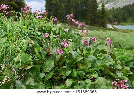 Bergenia Cordifolia (bergenia Crassifolia, The Badan, Siberian Tea).