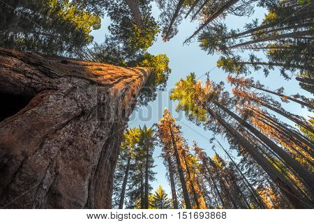 Giant sequoia tree in the forest of Yosemite National Park, USA