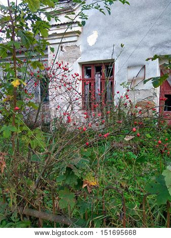 against the backdrop of an old abandoned house grows wild rose bush with red berries