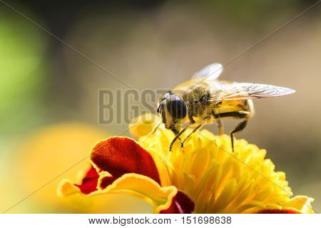 bee collects honey from a flower blue