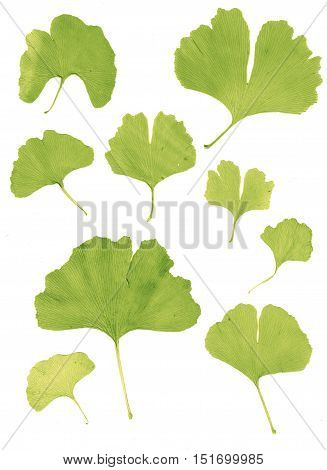 Isolated Ginkgo Biloba Leaf Design