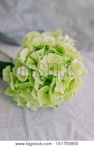 on a light background of a large green hydrangea bud
