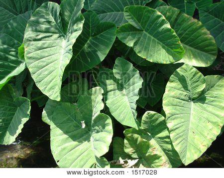 Ear Plant