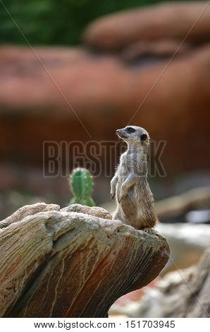 Small Meerkat Standing On The Rock Of The Desert