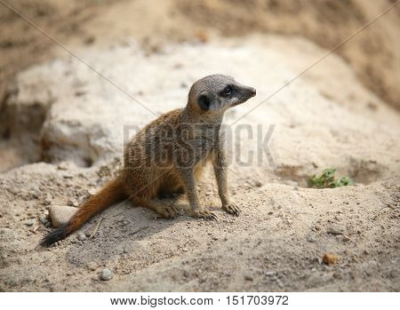 Meerkat Standing On The Rock Of The Desert And Controls Its Terr
