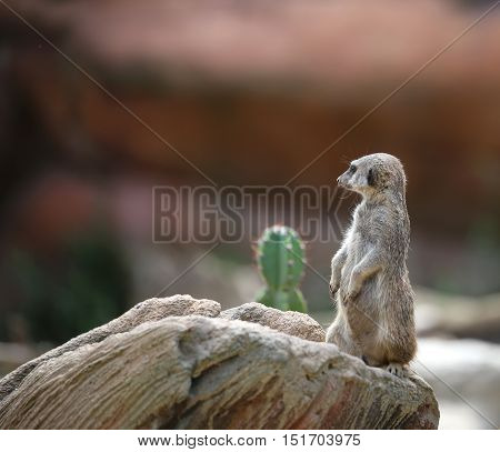 Meerkat Standing On The Rock