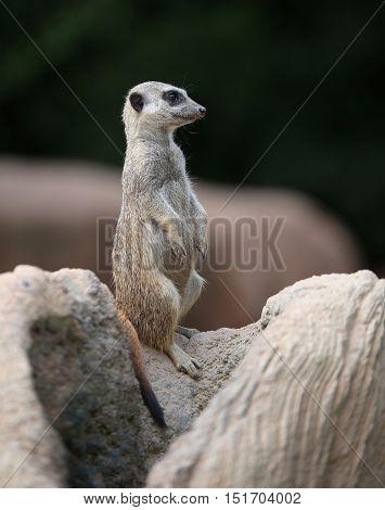 Little Meerkat Standing On The Rock Of The Desert