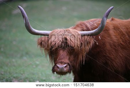 Yak With Long Brown Hair While Grazing The Lawn