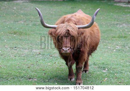 Big Yak With Long Brown Hair