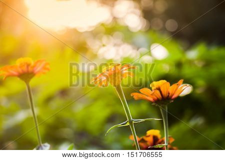 The Beautiful zinnia flower vintage filter effect style in garden