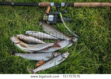 Graylings and fishing rod on the green grass