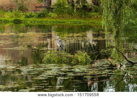 Grey heron is sitting on the branch above the pond in the park