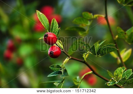 Ripe rosehips with green leaves in background autumn