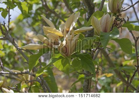 Hattie Carthan magnolia (Magnolia brooklynensis Hattie Carthan). Hybrid between Magnolia brooklynensis and Magnolia brooklynensis Evamaria