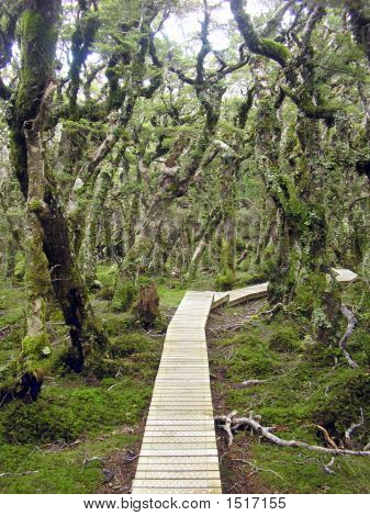 Hump Ridge Track Through Beech Forest, South Island, New Zealand