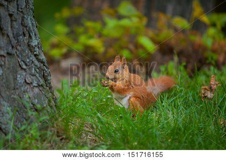 Red Squirrel In Wild
