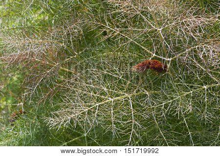 Smokey fennel (Foeniculum vulgare var. Dulce Rubrum). Called Bronze fennel also