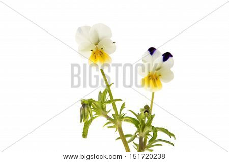 pansy flower macro isolated on white background