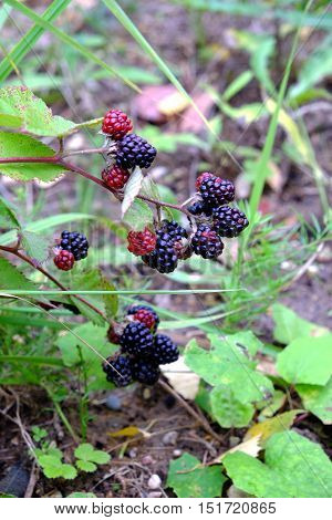 Ripe blackberries are hanging on branch against the backdrop of green grass. Vertical photo close-up