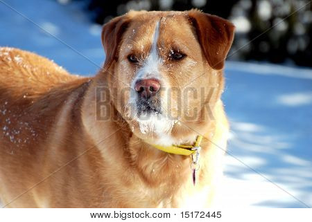 Watchful Dog with Snowy Snout