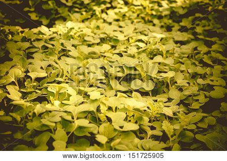 Mustard Sprouts Macro