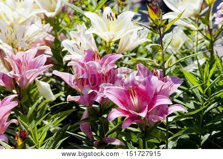 Multi colored lilies. White, pink, green foliage.