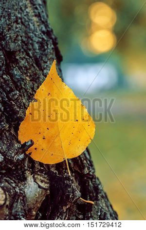 An autumn yellow leaf stuck in the bark of a tree - tender colors. Location Lietzensee Berlin Germany.