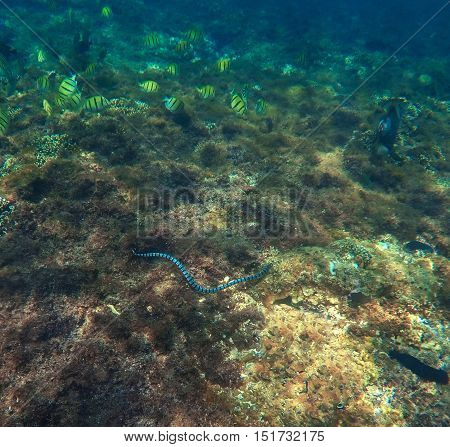 Underwater landscape with sea snake. Striped snake in the reef. Sea animals and plants. Oceanic ecosystem. Tropical lagoon fauna photo. Undersea landscape. Black and white poison snake close image