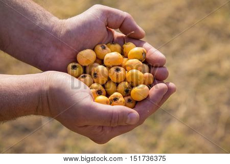 Ripe Fruits Of Hawthorn In The Hands