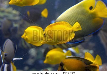 Yellow Fish In Tank