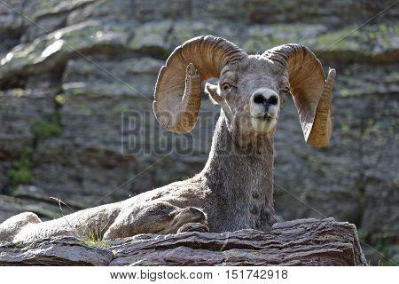 Bighorn Sheep Resting On Ledge