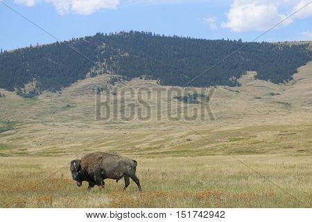 Bison In The National Bison Range