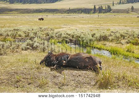 Bison Rolling On Ground