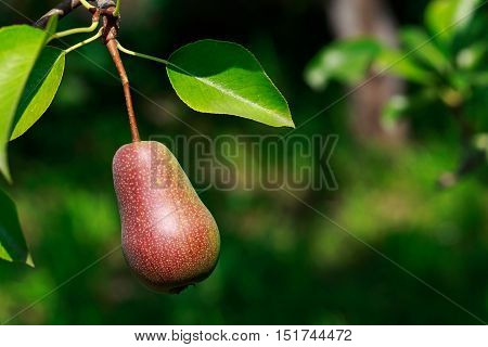 the ripe pear hanging from a tree